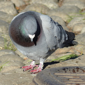 Solitude in the city park... by Francesco Altamura - Animals Birds ( pigeon, bird, nature, park, solitude, city park,  )