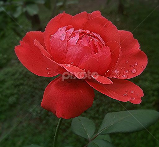 Beautiful Rose Flower With Rain Drops By Riaz Paras