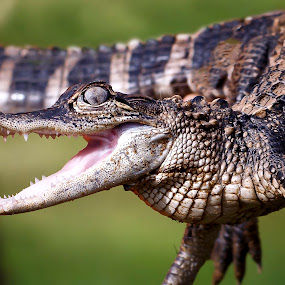 Alligator by Melissa Connors - Animals Reptiles ( scales, alligator, reptile, teeth, animal )