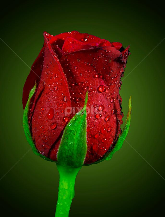 by Chandra Mouli Roy Chowdhury - Flowers Flower Buds