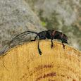 Beetles of Pretoria and Jo'burg