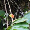 Rubber tree Fruit