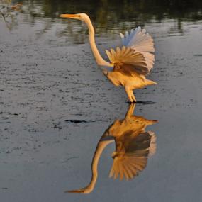 egret takeoff by Ashutosh Singhvi - Animals Birds ( bird, tak off, flight, reflection, egret,  )