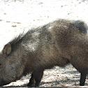 Collared peccary - Javelina Hog
