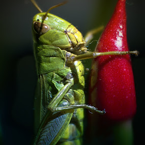 green-red by BO LED - Animals Insects & Spiders ( macro, red, nature, green, insect, natural, grasshopper, flower, animal,  )