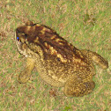 Asian common toad, black-spectacled toad