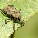 Long-snouted rainforest weevil