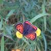 kleine vuurvlinder/Common Copper  (Lycaena phlaeas)