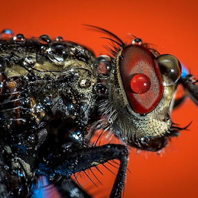 Fly # 8 by Dave Lerio - Animals Insects & Spiders