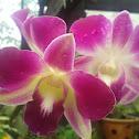 Orchid, Dendrobium