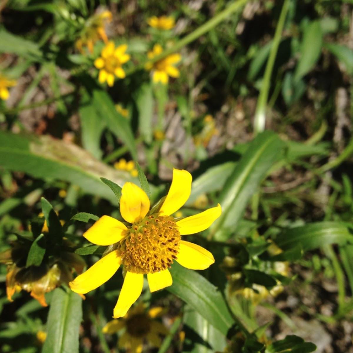 Showy bur marigold