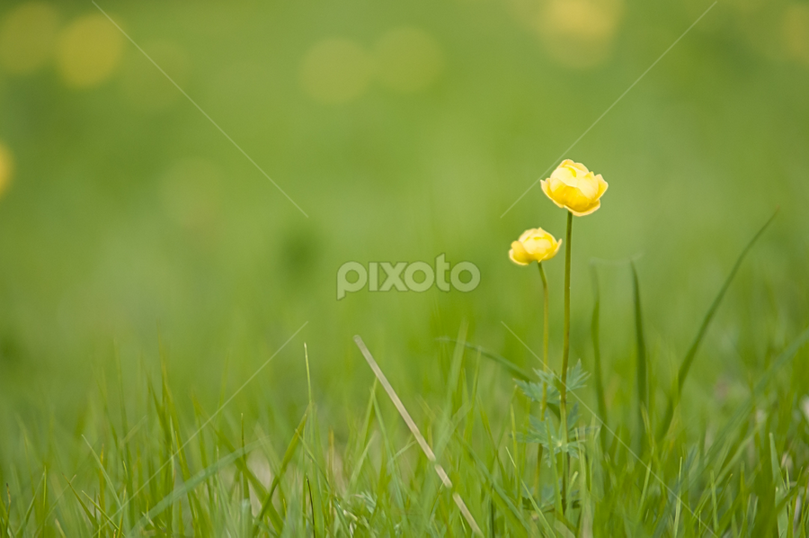duo by Luca Paramidani - Flowers Flowers in the Wild ( nature, grass, yellow, flowers, italy )
