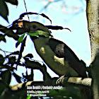 Luzon Hornbill ♂