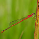 Orange-Tailed Midget Damselfly - female
