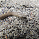 Western smooth earth snake