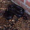 Rat black snake