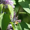 Honey Bee & Lilac