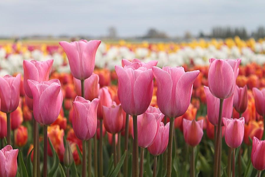 Easter Pink by Todd Klingler - Flowers Flower Gardens ( oregon, green, white, yellow, spring, depth, field, spring colorful flowers, outdoors, tulip, pink, festival, springtime, woodburn, flower,  )