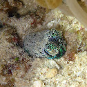 Humming-bird Bobtail Squid