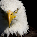 Eagle HD Live Wallpapers icon
