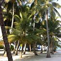 Coconut palm / Dhivehi Ruh / Kokospalme