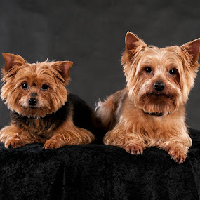 Yorkshire siblings by Renata Horáková - Animals - Dogs Portraits ( dogs, yorkshire terrier, dog portrait, dog,  )