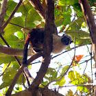 Geoffroy's Tamarin - Mono Tití