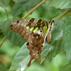 Tailed Jay, Green-spotted Jay or Green Leopard