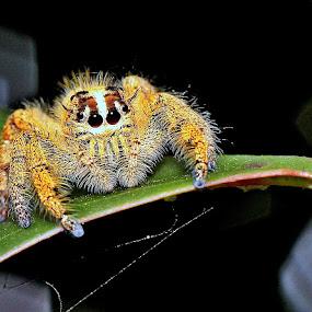 Jumping spider by Syafriadi S Yatim - Animals Insects & Spiders ( jumping spider macro insect animal )
