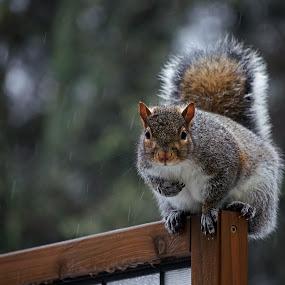 Grey Squirrel in the Rain by Jeff Galbraith - Animals Other Mammals ( screen, wooden, privacy, grey, rodent, rain, mammal, squirrel )