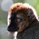 Rufous Brown Lemur