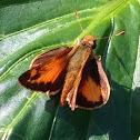 Orange moth