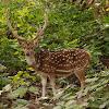 Chital deer, Spotted deer or Axis deer
