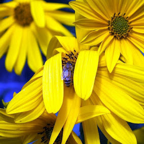 Yellow Sunflowers , Blue Bee by ChrisTina Shaskus - Nature Up Close Flowers - 2011-2013 ( , colorful, mood factory, vibrant, happiness, January, moods, emotions, inspiration )
