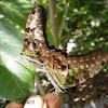 [s] Tailed Jay