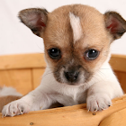 Dog Puzzle: Chihuahua icon