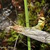 Crane Fly (Eclosing)
