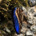 Morph butterfly