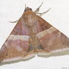 Ophisma moth