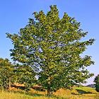 Tree identification icon