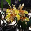 Orquídea boca de tigre