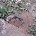 Iguana (Lizard)