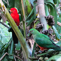 Australian King Parrot (mated pair)