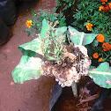 Cauliflower flowers