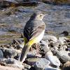 Grey Wagtail; Lavandera Cascadeña