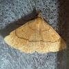 Clay Fan-foot Moth
