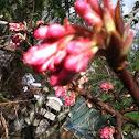 Oleander Buds