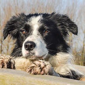 Are you done taking pics?? by Thyra Schoonderwoerd - Animals - Dogs Portraits ( border collie, beautiful, bordercollie,  )