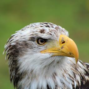 Female Bald Eagle With Turned Head by Robert Hamm - Animals Birds ( 2014, mar 7,  )