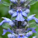 Bugleweed
